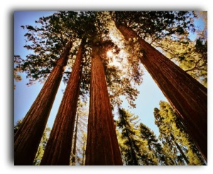 The Senate Group, Giant Sequoia Trees at Grant Grove, Sequoia National Park, Southern Sierra Nevada, east of Visalia, California